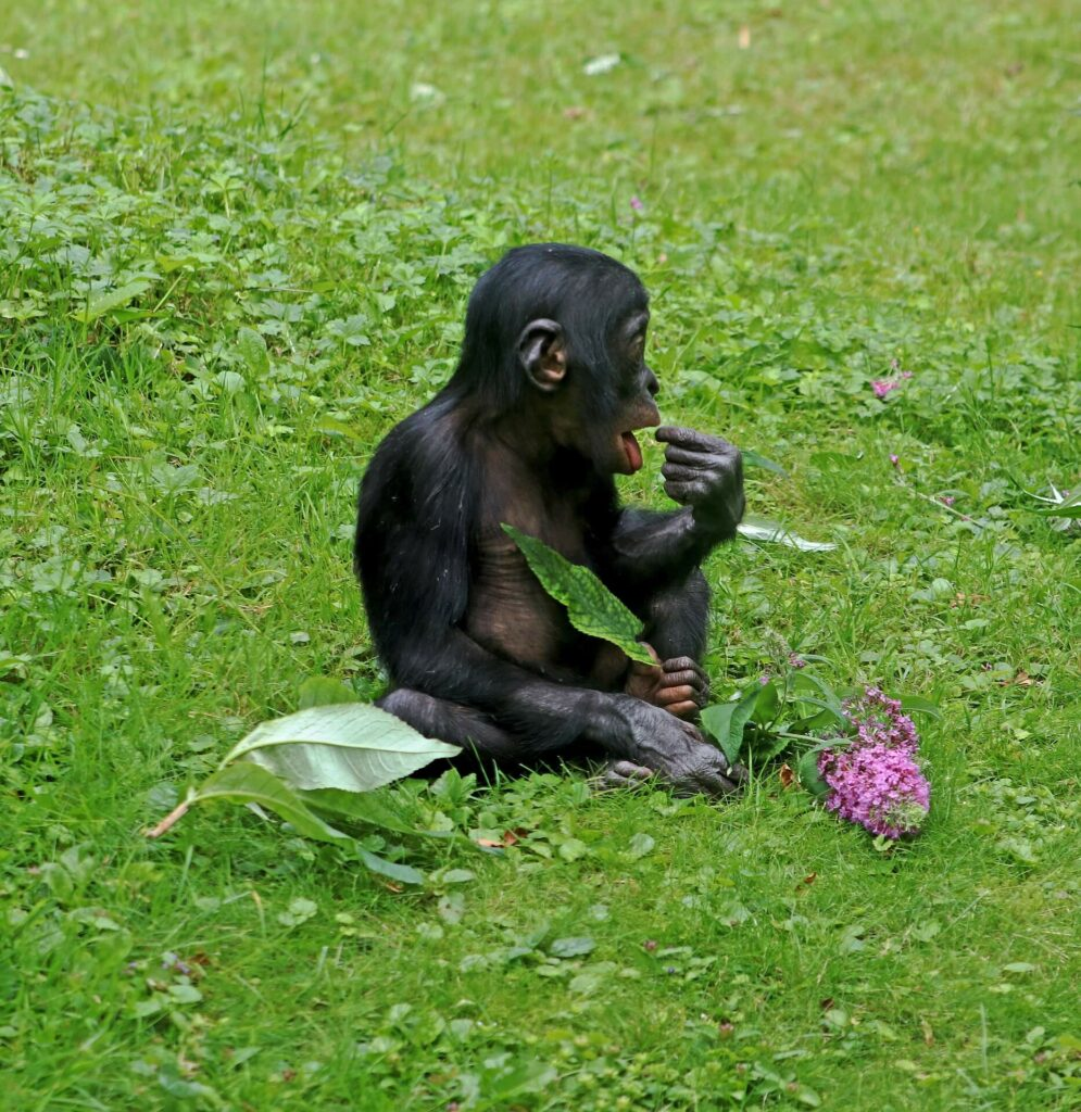 Bonobo and humans is the diet similar?